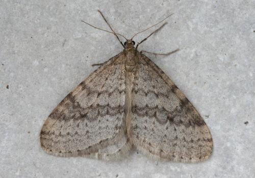 38-7437 - Operophtera bruceata - Bruce Spanworm