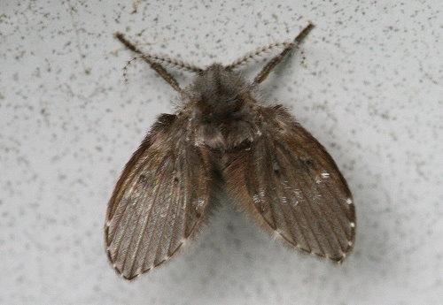 mothfly1