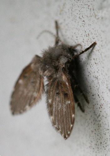 mothfly2