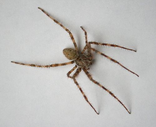 Northeastern Pennsylvania Spiders http://seabrookeleckie.com/2011/12/14/along-came-a-spider-2/