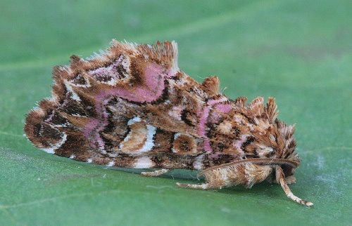 9631 - Callopistria mollissima - Pink-Shaded Fern Moth