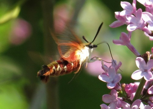 HummingbirdClearwing