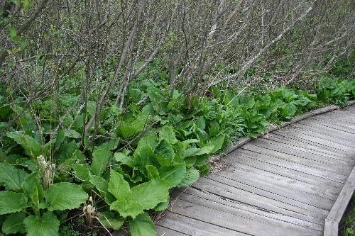 skunkcabbage